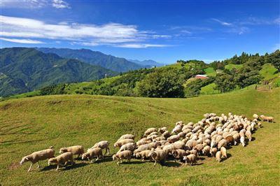 【軍事好好玩】青青草原與羊共舞清境遊樂無窮